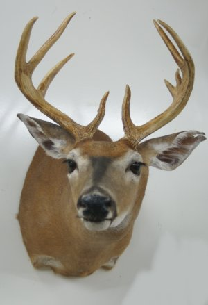 whitetail deer taxidermy mounts for sale, taxidermy deer mounts, deer shoulder taxidermy mount, mounts for sale, taxidermy for sale, taxidermy mounts for sale
