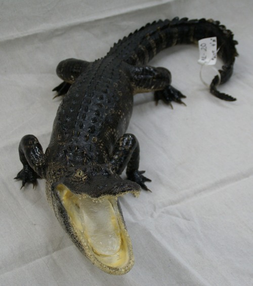 alligator taxidermy mounts, Florida swamp gators, images of Florida alligator taxidermy, Florida alligator taxidermy mounts