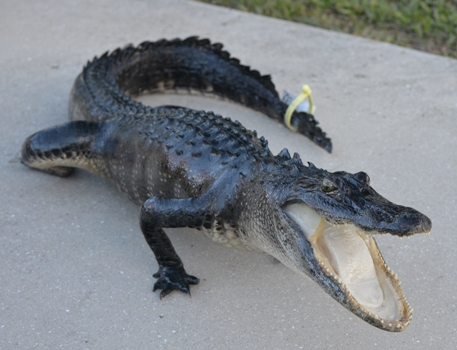 Florida alligator taxidermy mount, Florida swamp alligator, image of a taxidermied alligator caught in Florida, Florida alligator harvested during alligator hunting season