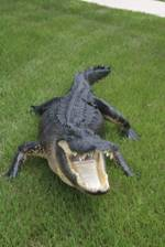 alligator full body mounts, taxidermy mounts for sale, Florida gator mounts for sale, gator taxidermy mounts, Fliorida swamp gators